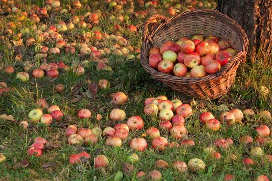 La saison des pommes achèves : utilisation du verbe achever en tant que verbe intransitif, un usage propre au Québec.